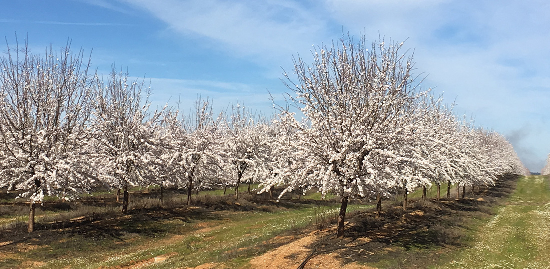 Amendoeiras Migdalo Alentejo